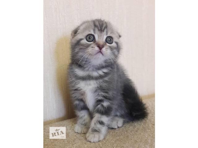 Клубные шотландские котята- объявление о продаже  в Черкассах