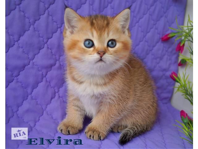 купить бу Клубные типажные золотые котята в Днепре (Днепропетровске)