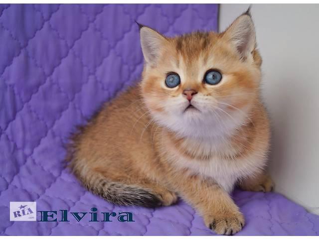 Клубные золотые котята- объявление о продаже  в Днепре (Днепропетровск)