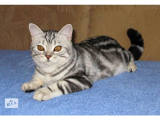 Клубный британский котик - подросток. Красная родословная.- объявление о продаже  в Киеве