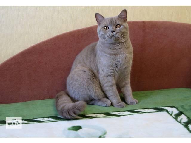 купить бу Клубный, породный, Британский котик и просто Добрейшей Души Человек! в Киеве