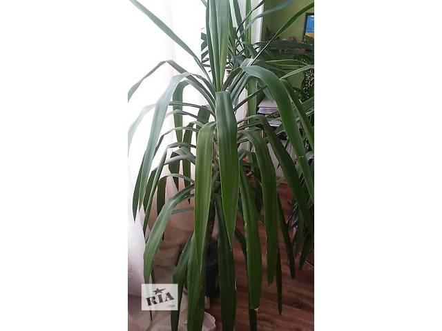купить бу Продам красивое растение,  Юкка высота без горшка 1,2м. в Киеве