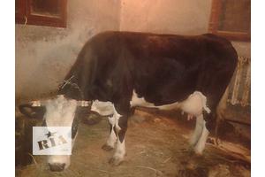 Корова .чорно - біла