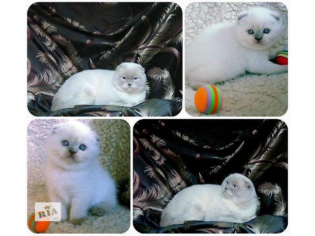 продам Кошачья свадьба! Шотландские коты разных окрасов приглашают на вязку. бу в Донецке