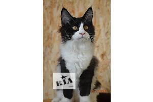 Кошечка мейн-кун Dorin