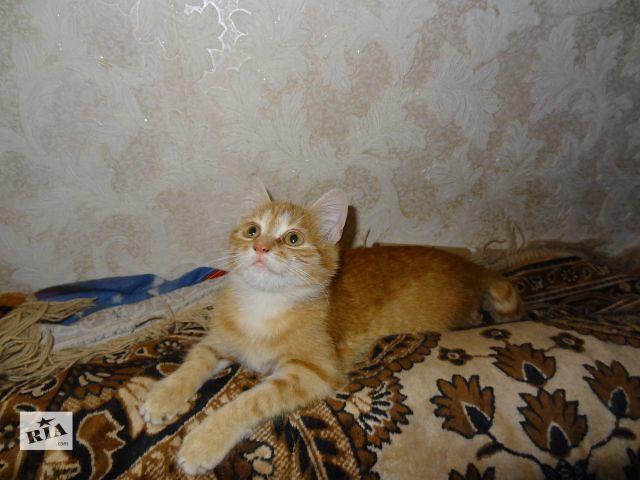 Кошечка ярко-рыжая Лиса, 1год 2 мес.- объявление о продаже  в Киеве