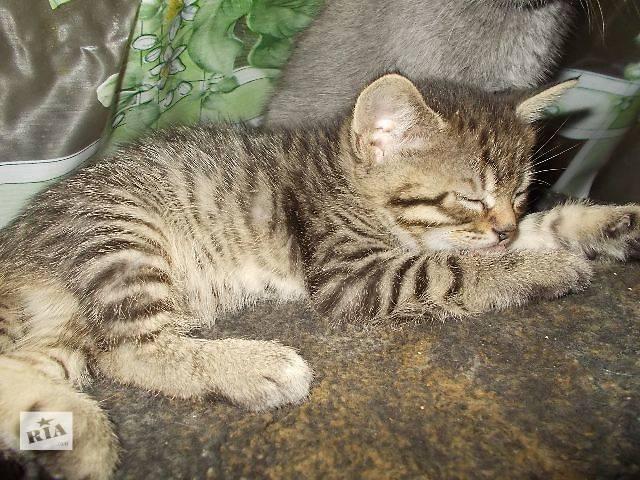фото котят британских тигровых