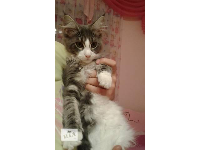 купить бу кошеня мейн - кун в Тернополе