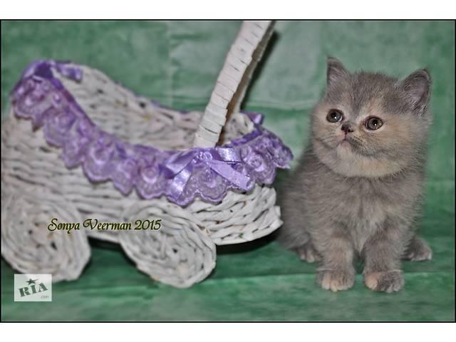 Кошка Чебурашка Чебурек- объявление о продаже  в Кривом Роге