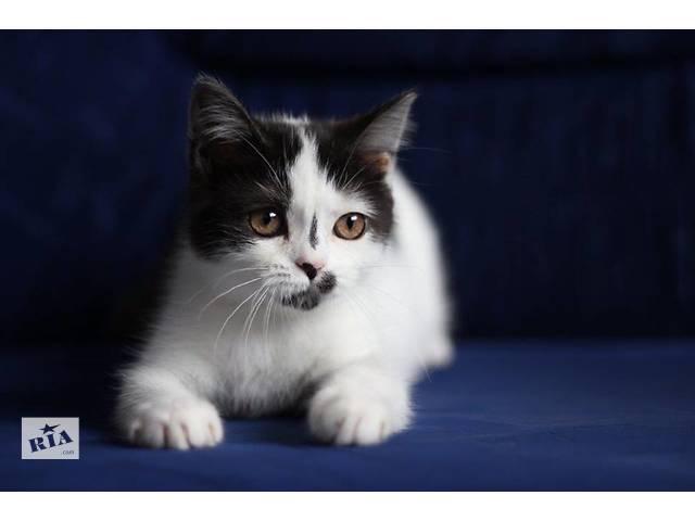 купить бу Кошка скоттиш страйт в Донецке
