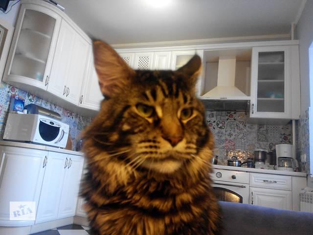 Кот Мейн- Кун приглашает кочечек на вязку!- объявление о продаже  в Киеве