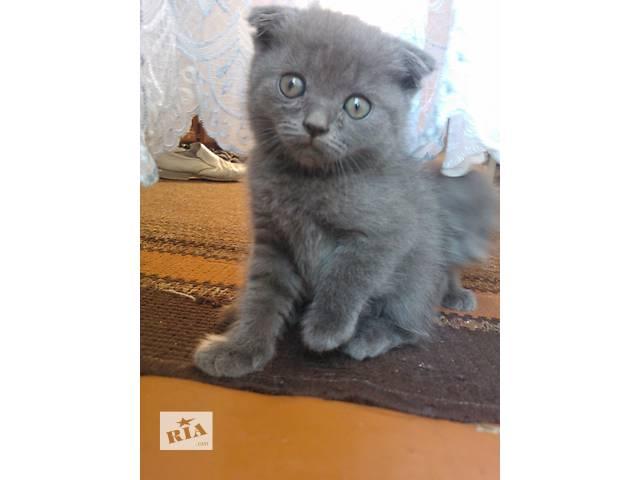 продам котенок породы Скотиш-фолд бу в Виннице