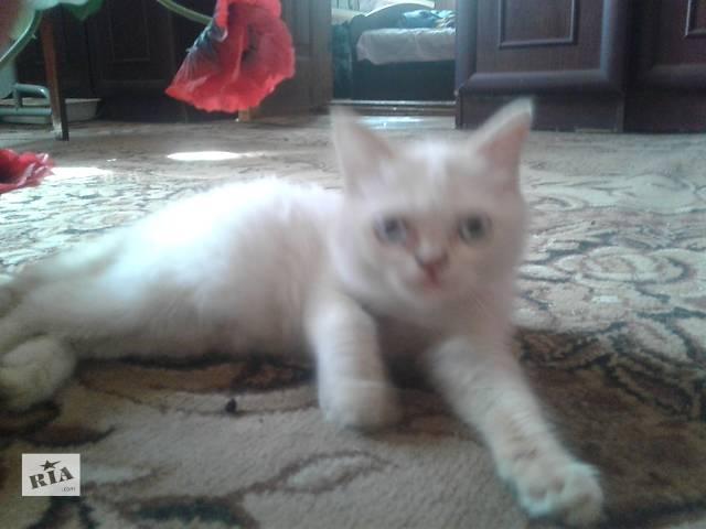 котенок британский возраст 4 мес ,мальчик- объявление о продаже  в Полтаве