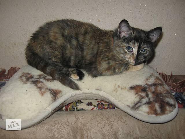 Котенок черепахового окраса- объявление о продаже  в Житомире