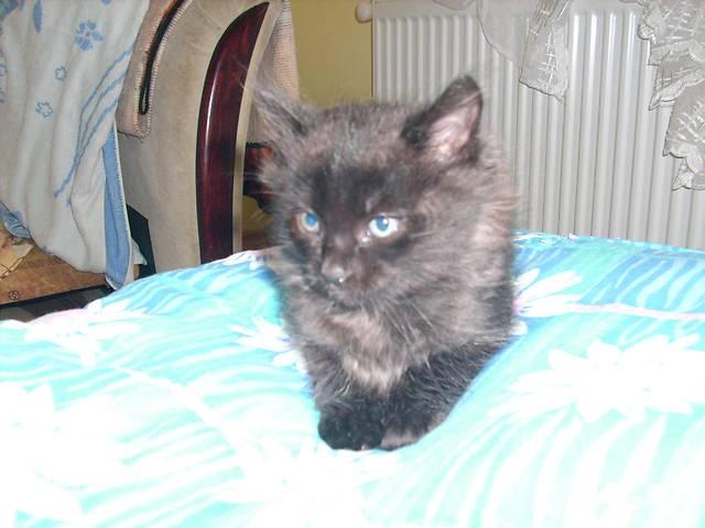 котенок черный окрас, отдам- объявление о продаже  в Виннице