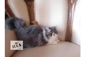 Котенок кошечка персидская экстремальный тип Эля Шарм