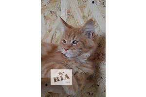 Котенок мейн-кун Fiore