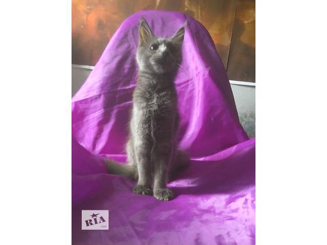 Котенок мейн-кун из питомника (девочка).- объявление о продаже  в Днепре (Днепропетровске)
