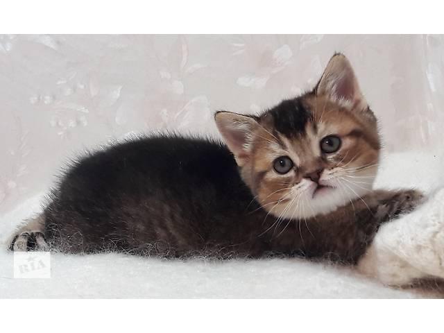 купить бу Котёнок шотландский тикированный в Запорожье