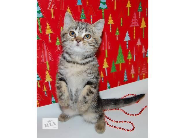 бу котенок шотландская короткошерстная в Николаеве