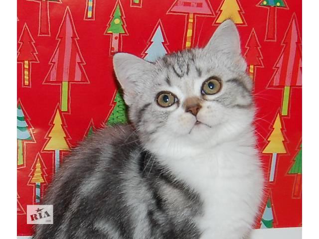 бу котенок шотландский короткошерстный в Николаеве