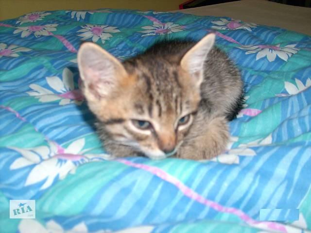 продам котенок тигровый окрас, отдам бу в Виннице