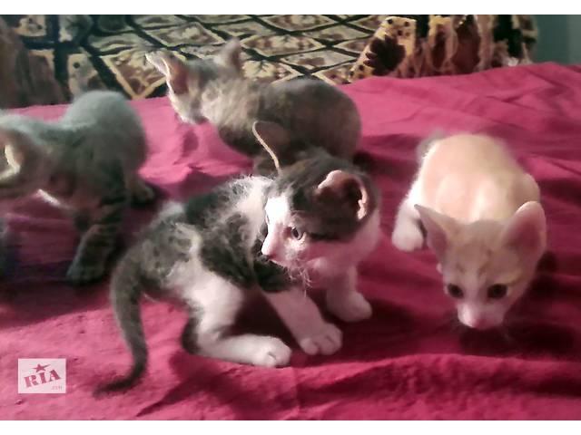купить бу Котята донского сфинкса в Донецке