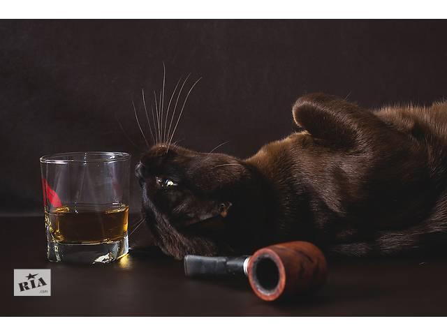 Котята европейской бурмы.- объявление о продаже  в Днепре (Днепропетровске)