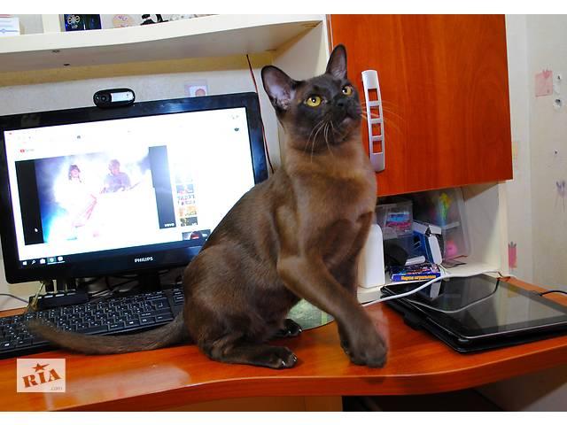 Котята европейской бурмы.- объявление о продаже  в Днепре (Днепропетровск)