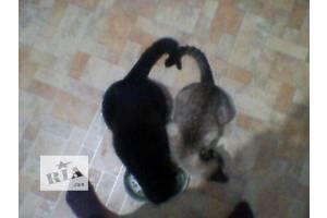 Котята метисы от тайского котика. Недорого!