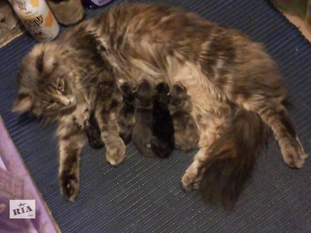 продам Элитные котята мейн-кун - дешевле не найти!! бу в Киеве