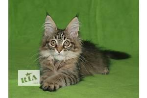 Котята мейн-куны высокого качества