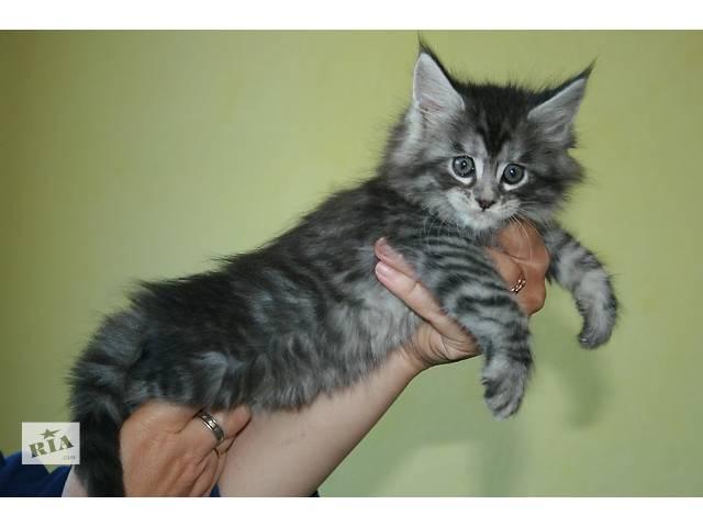 Котята окраса дикой кошки Мейн Куны. - объявление о продаже  в Днепре (Днепропетровске)