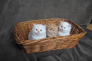 Персидские коты