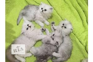 Котята персидские. Серебристые и золотистые шиншиллы