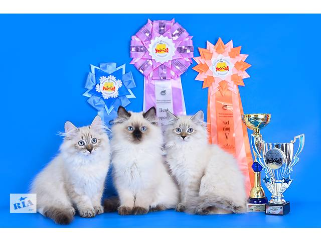 бу Чистокровные невские маскарадные котята (сибирский колорпоинт) в Запорожье