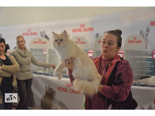 продам Котята с гипоаллергенной шерстью бу в Ивано-Франковске