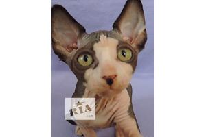 Кошки, коты, котята в Одессе - объявление о продаже Вся Украина