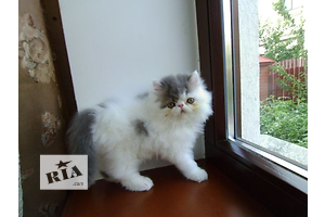 Продажа персидских котят. Питомник персидской кошки
