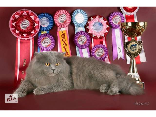Котик Хайленд Страйт приглашает на свидание кошечек!!!- объявление о продаже  в Днепре (Днепропетровске)