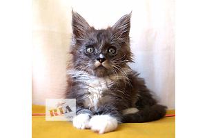 Котики мейн-кун черный дым с белым, питомник, Херсон