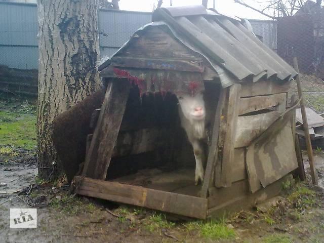 Коза - объявление о продаже  в Ужгороде
