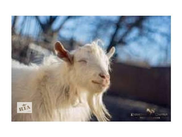 купить бу козлята,  злучка  цапом (козлом) породистым Ламанчем в Ракитном (Киевской обл.)