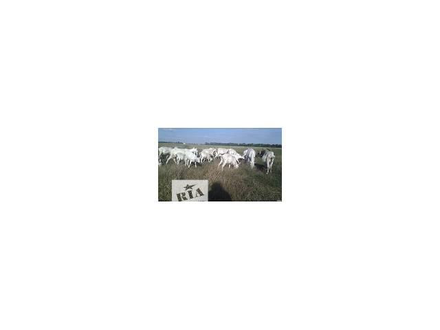 Козы породистые.Козлята.козёл племенной. Зааненские,ламанча- объявление о продаже  в Киеве