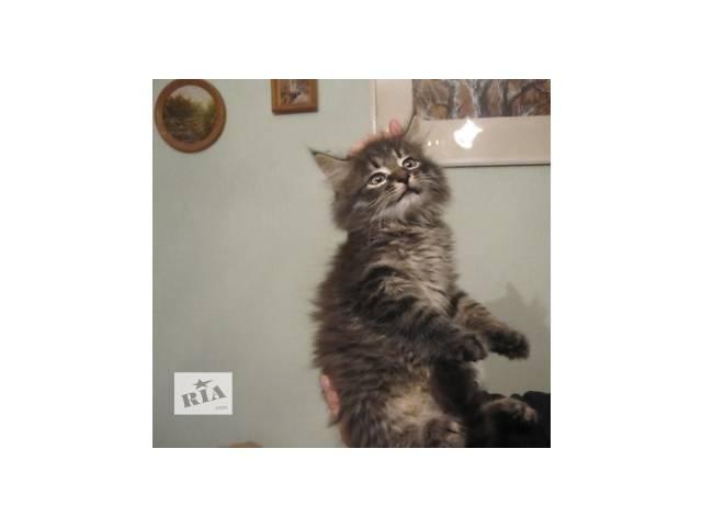 Красавчик,домашний тигр,2.5 мес.- объявление о продаже  в Киеве