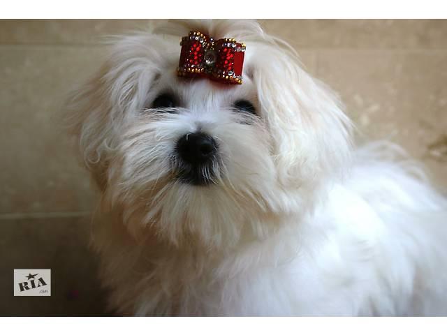 Красавица малышка мальтезе(КСУ)- объявление о продаже  в Одессе