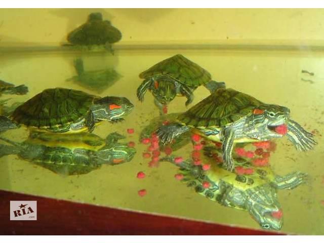 бу Красноухая черепаха – заказывайте прямо сейчас с доставкой. в Киеве