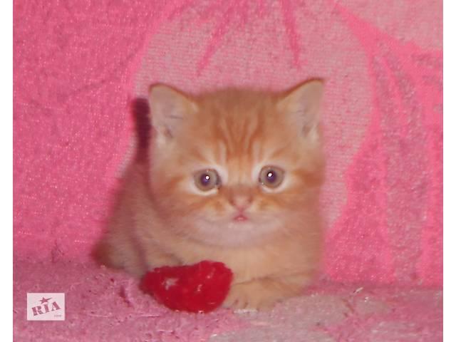 бу Красный чистокровный британский малыш! (питомник) в Днепре (Днепропетровске)