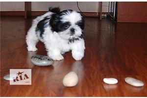 продам Собаки, цуценята в Дніпропетровську бу Вся Україна