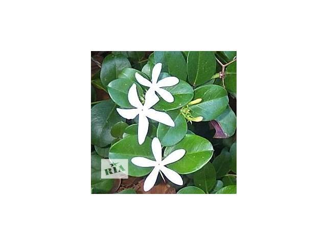 Красивоцветущее плодоносящее растение Карисса- объявление о продаже  в Никополе (Днепропетровской обл.)